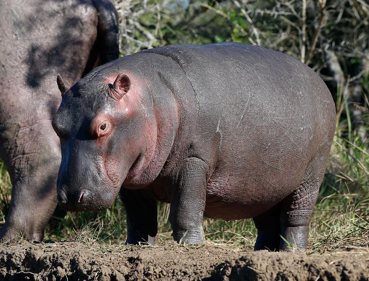 Hippo sighting guarantee